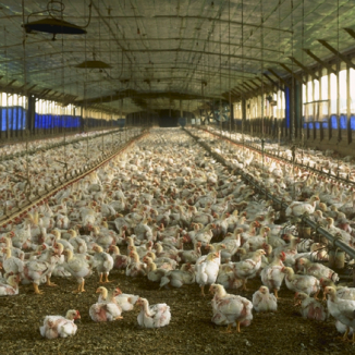 Bird flu: chickens are coming home to roost