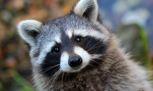 Raccoons are on the rise in Limburg; experts call for action