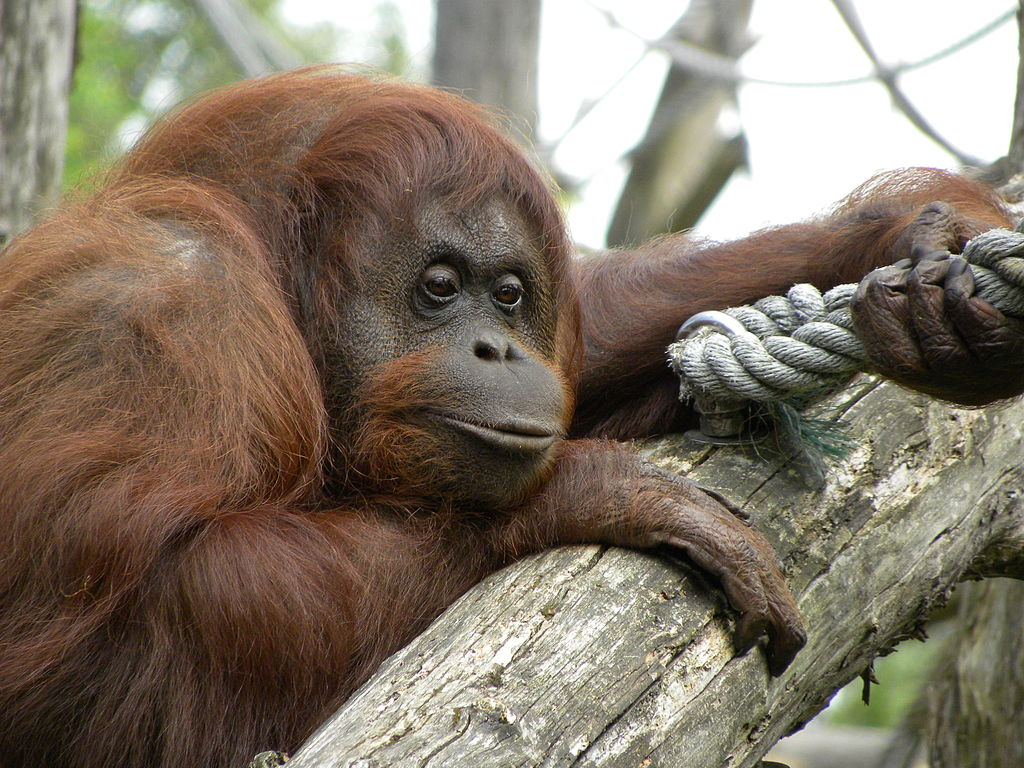 Orangutans Are Now Looking for Mates on 'Tinder'