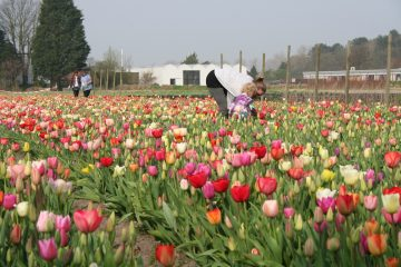 Flower power: Nine ways to get your tulip fix this spring