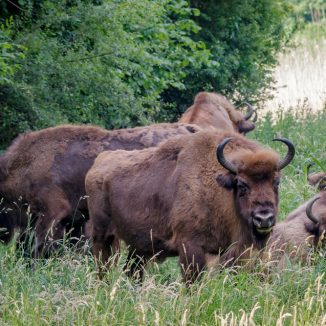 The bison are back: rewilding the Dutch dunes brings back a mega beast