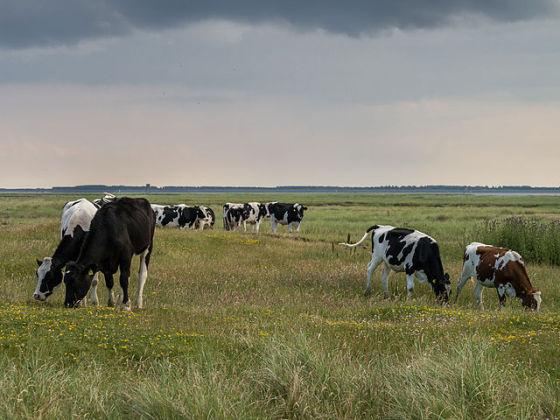 cows in dutch field wm