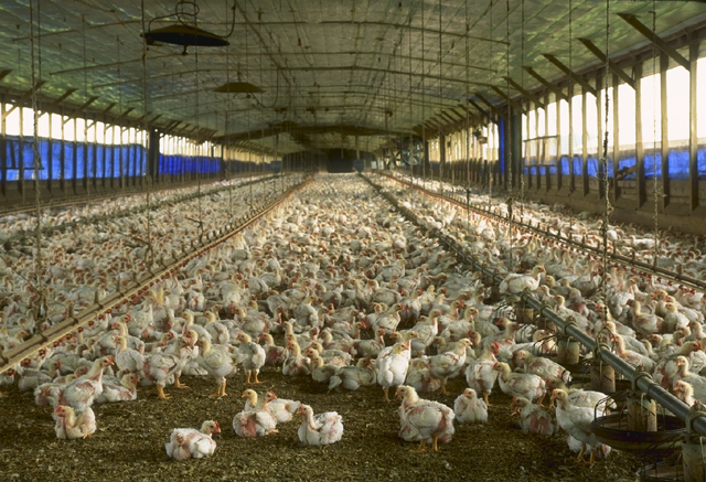 factory farming chickens