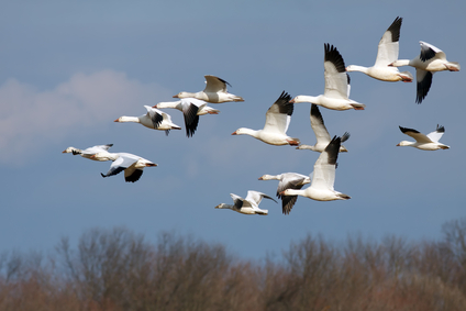 Snow Geese in Flight