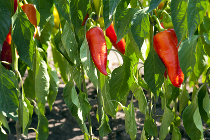 red organic peppers growing in the garden