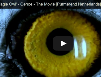 Video: Purmerend eagle owl stars in horror film.
