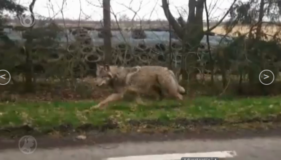 wolf in germany