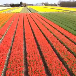Video: drone flight over the Dutch tulip fields