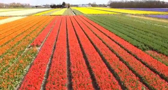 Dutch tulip fields by drone