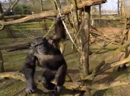 chimp attacks drone