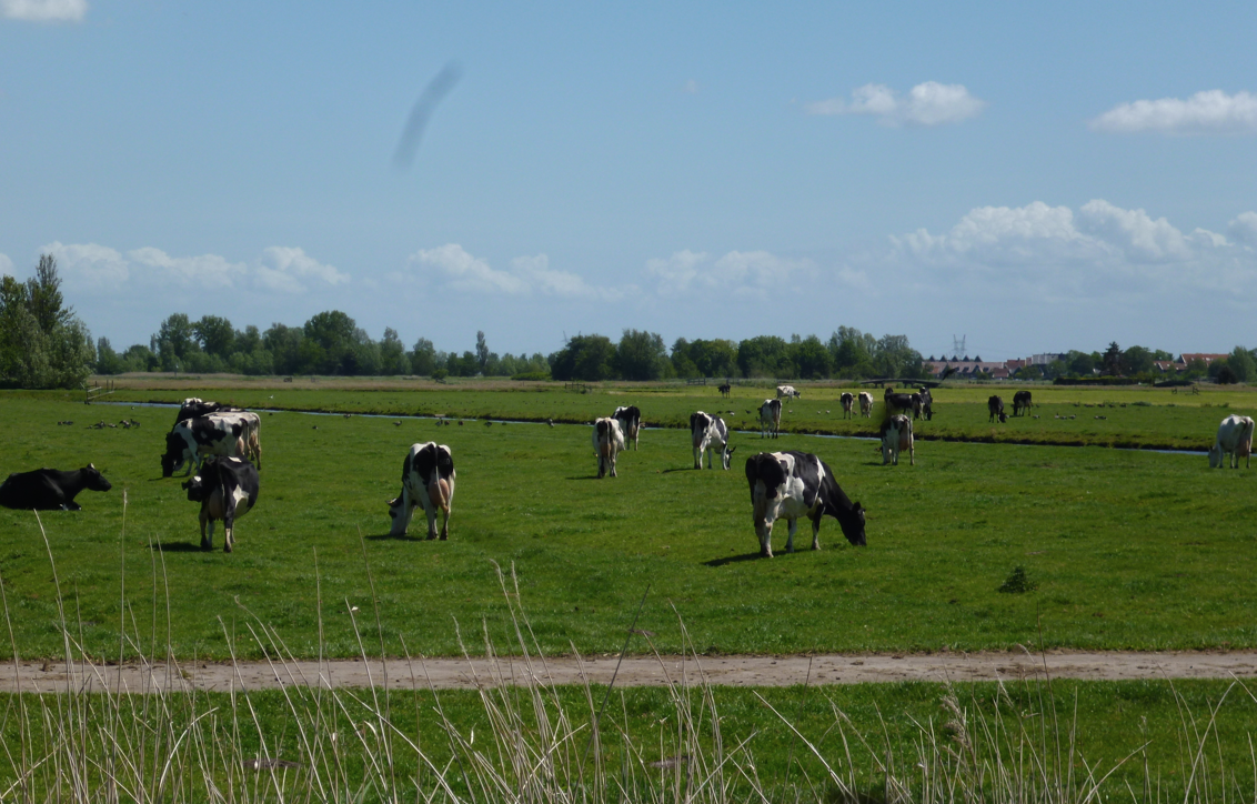 Dutch dairy farms get bigger, with more cows producing more