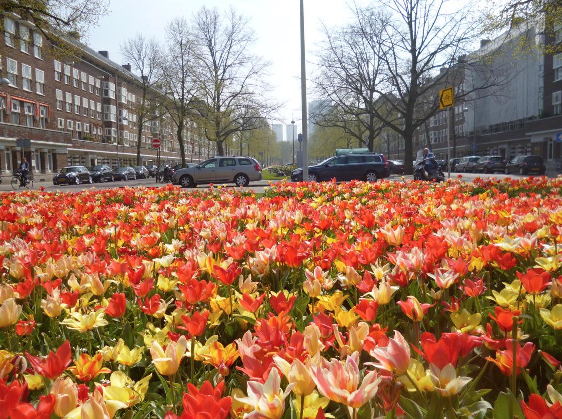 orange tulips amsterdam