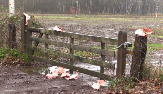 pigs heads scattered around field refugee site