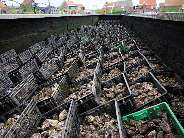 Oyster_pits_in_Yerseke_Netherlands_02