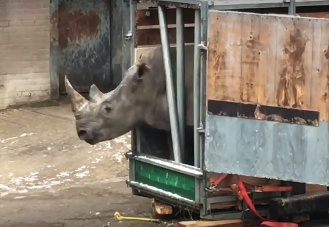 rhino tries to escape Dutch zoo