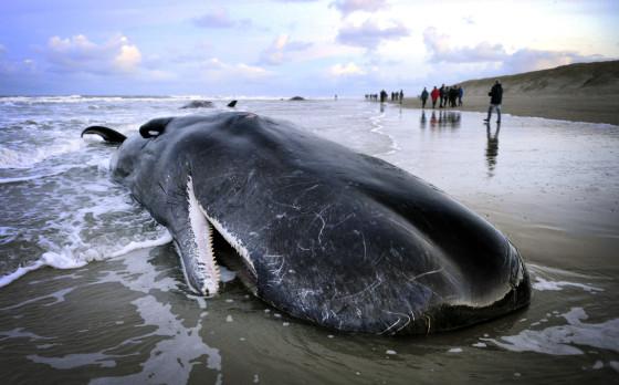 Five sperm whales die on Dutch beach