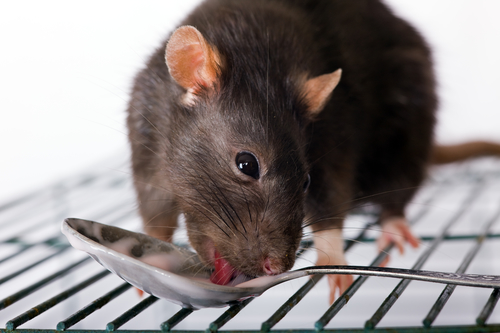 Image result for Plague of rats