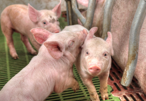 Pigs on a factory farm. Photo: Depositphotos