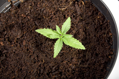 A potted cannabis seedling. Photo: Charlotte Lake via Depositphotos.com