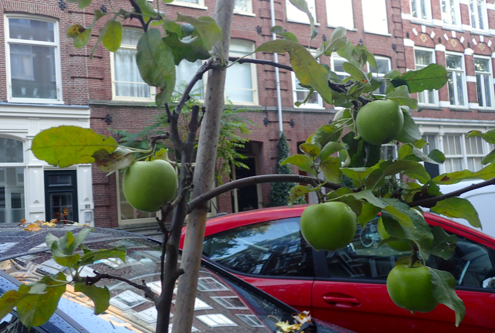 Apples growing in an Amsterdam street. Photo: DutchNews.nl