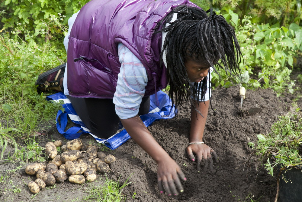 Harvesting potatoes in the school gardens. Photo: Bert Verhoeff / HH