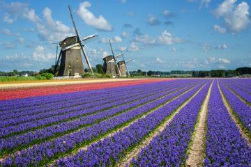 Windmills in Dutch bulb fields.