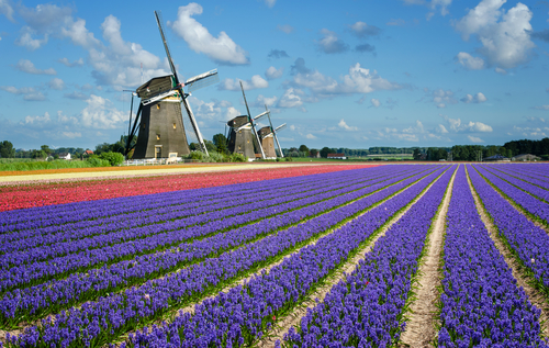 Windmills in Dutch bulb fields.