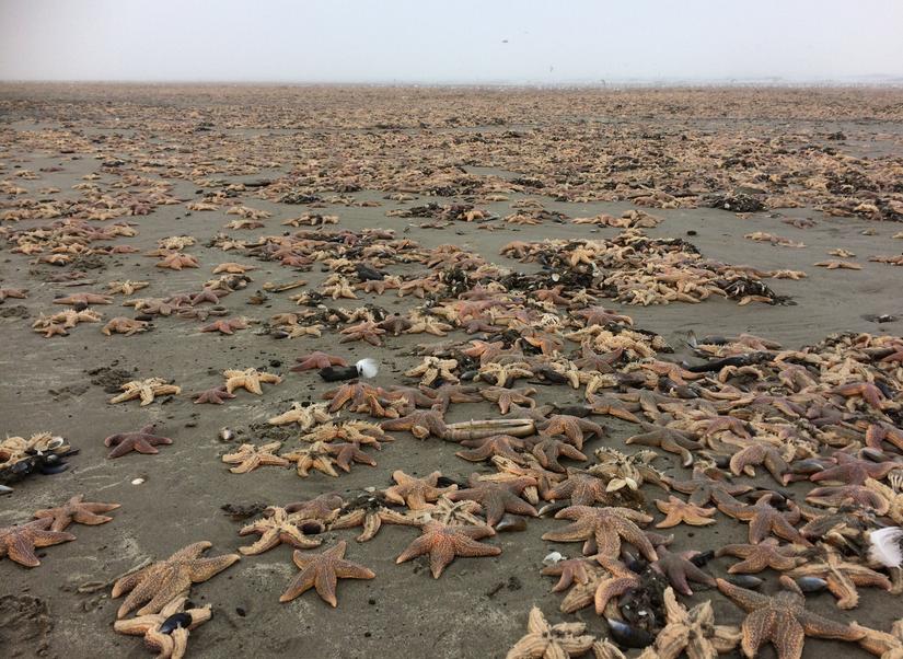 Dead starfish as far as the eye can see. Photo: Martin Kool