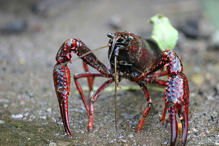 American crayfish are NOT a regional product, says pro-animal party - DutchNews.nl