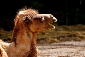 DutchNews podcast – The Loose Camel Edition – Week 35