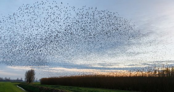 Groningen University uses wild starlings for experiments about sleeplessness