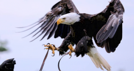 Bald eagle alert: Lady Maya flies off after conflict with gang of gulls