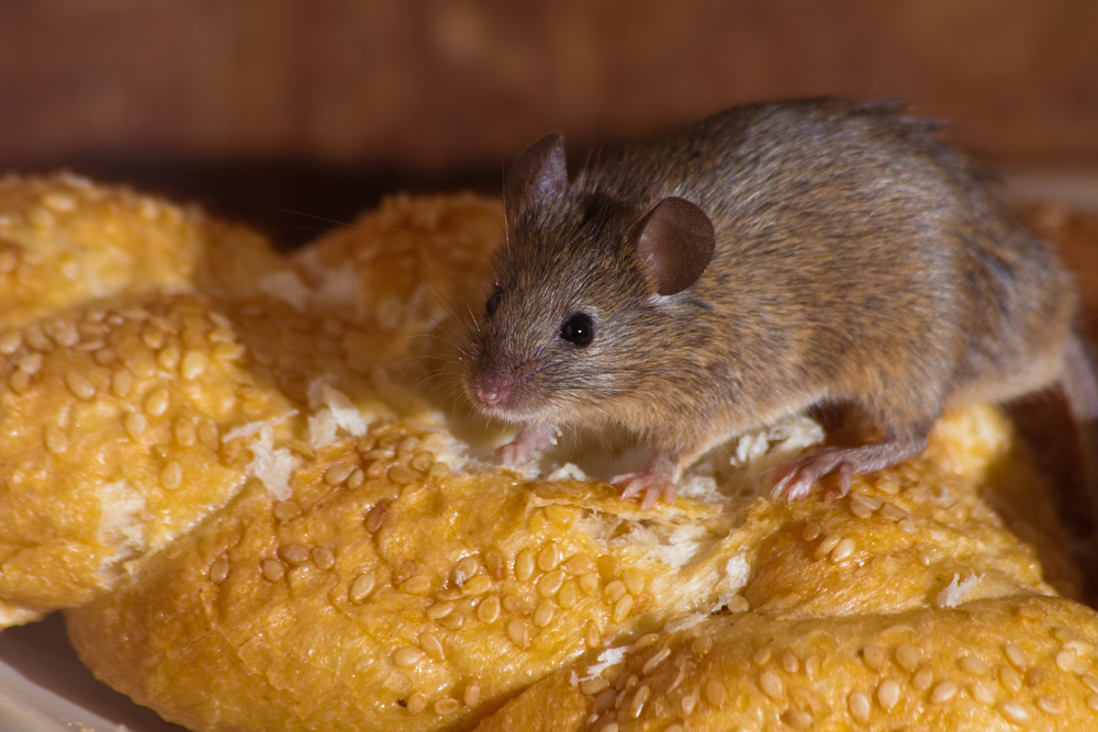 Rat and mouse plague looms if poison ban goes ahead, experts warn - DutchNews.nl