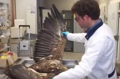 Dead sea eagle found on Lelystad farm was hit by wind turbine