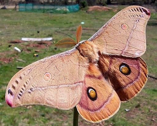 A polyphemus moth