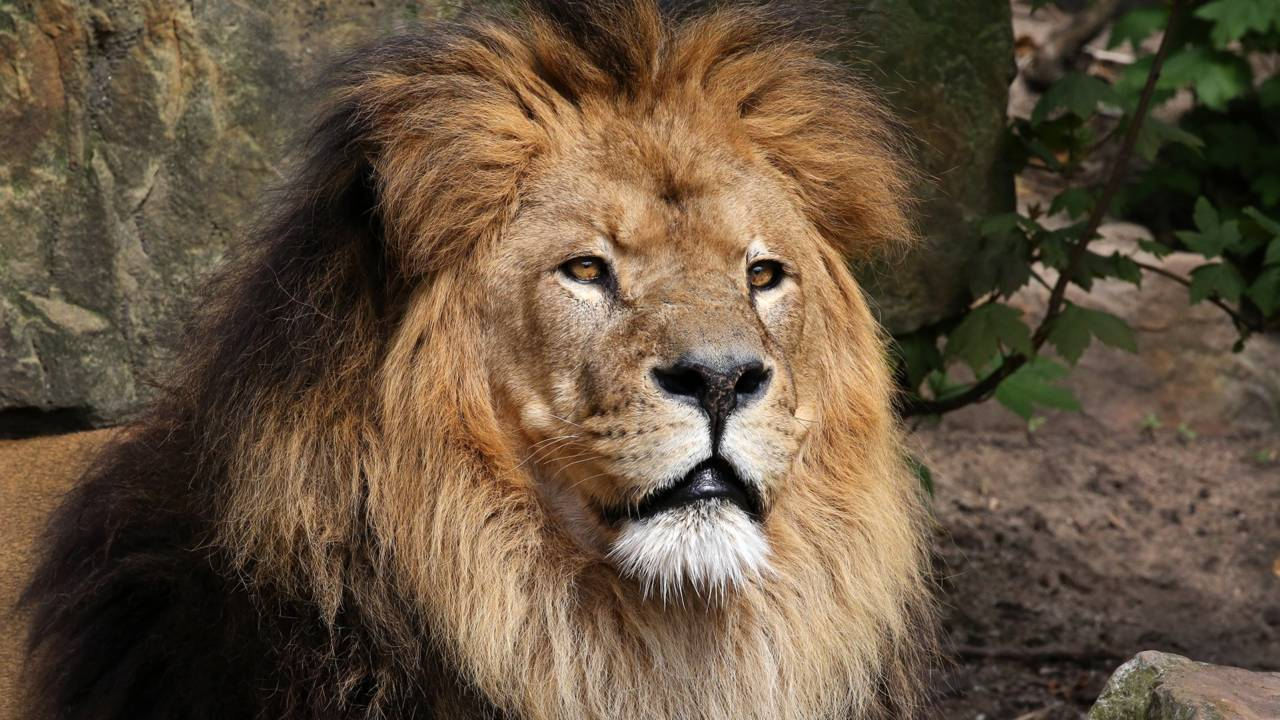 caesar the oldest lion in amsterdam s zoo roars his last dutchnews nl