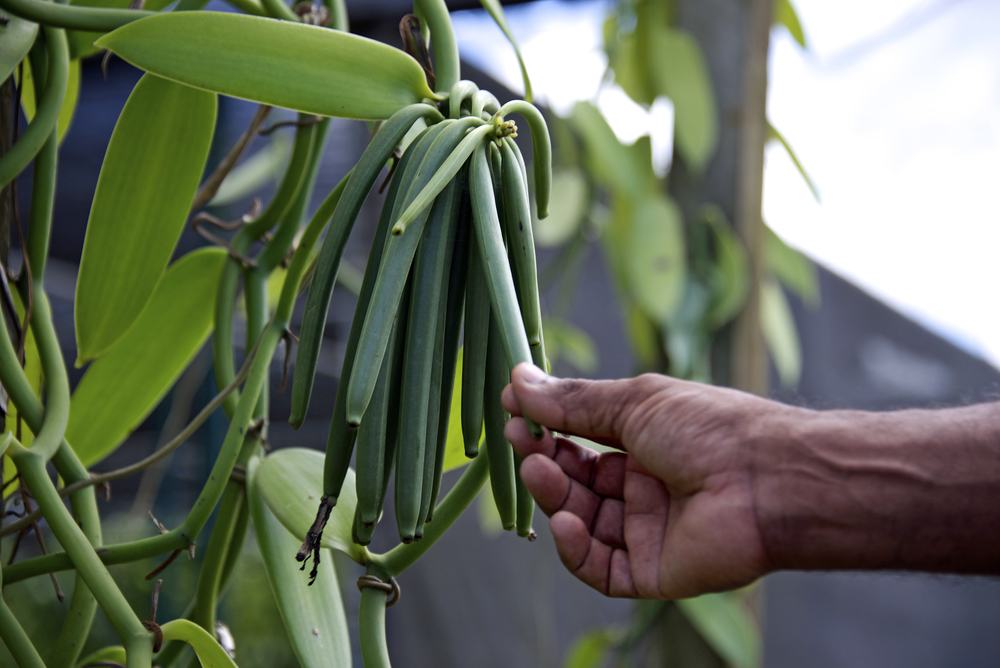 Dutch efforts to grow vanilla commercially flop