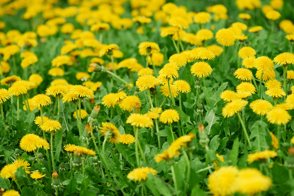 Rare dandelion, thought extinct in NL, spotted in island field