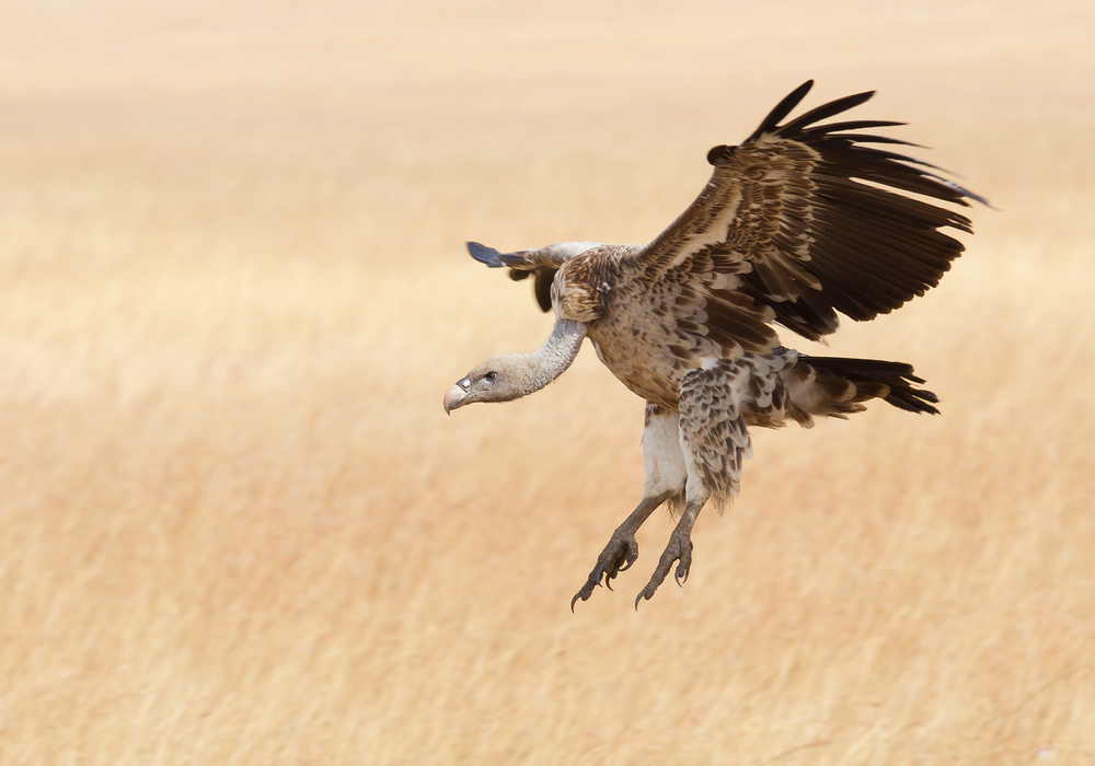 They're back: Two vultures lurk by Dutch border with Belgium - DutchNews.nl