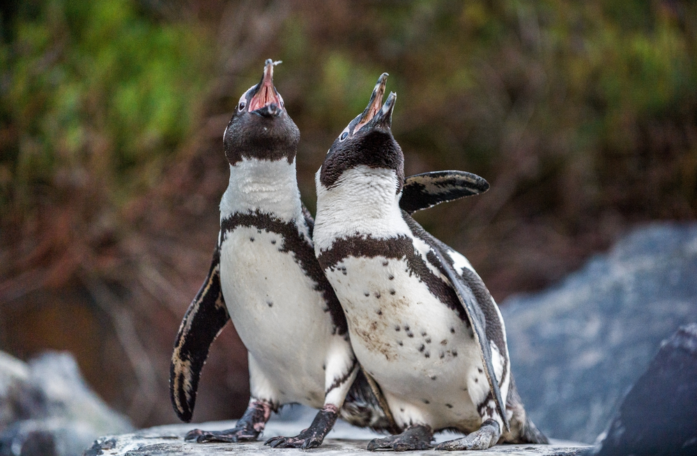 Gay penguins at Amersfoort zoo steal egg and and try to hatch it - DutchNews.nl