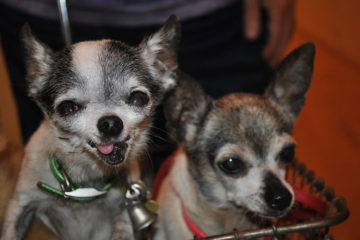 Two happy looking chihuahuas