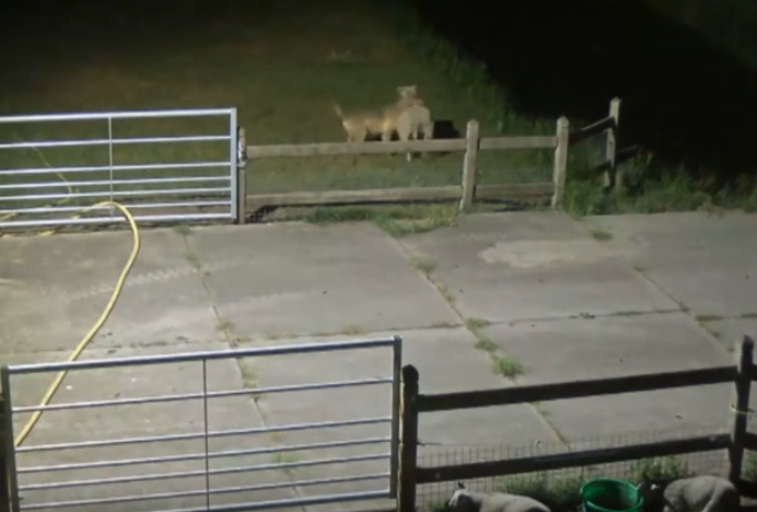 Wolf filmed attacking sheep in Noord Brabant; action is needed farmers say - DutchNews.nl