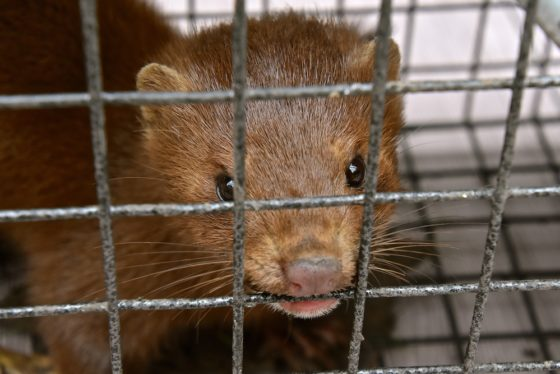 Denmark Starts Lockdown, Millions of Minks Culled Due to COVID Mutation