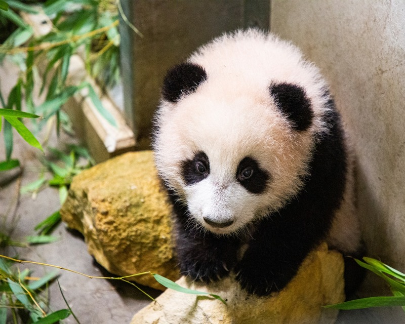 Its a boy, says zoo as giant pandas sex is revealed six