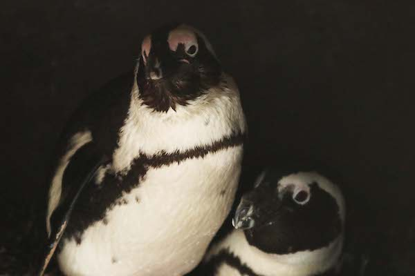 A zoo soap opera: Gay penguins steal nest with eggs from lesbian couple - DutchNews.nl